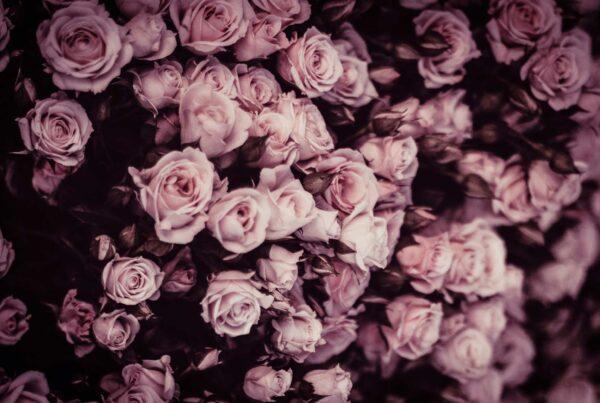 Campo di rose rosa